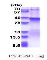 AR51444PU-N - Fucosyltransferase 7