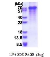 AR51457PU-N - Synaptotagmin-3