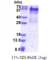 AR51460PU-N - Cytokeratin 5