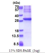 AR51462PU-N - GAD1 / GAD67
