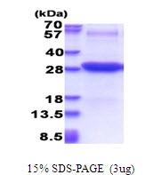 AR51465PU-N - CD102 / ICAM2
