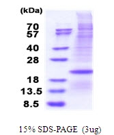 AR51469PU-N - CD153 / CD30L