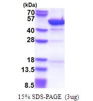 AR51478PU-N - Cytohesin 3