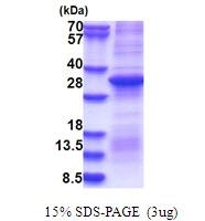 AR51483PU-N - Prothrombin (F2)