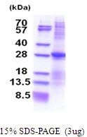 AR51497PU-N - CD298 / ATP1B3