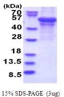 AR51514PU-N - Adipophilin / ADFP