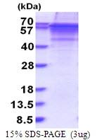 AR51561PU-N - Vitronectin