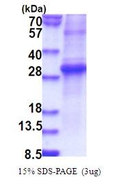 AR51593PU-N - KLK11 / Kallikrein-11