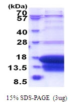 AR51598PU-N - Death-associated protein 1