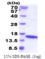 AR51628PU-N - IFNG / Interferon gamma