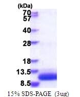 AR51635PU-N - G protein gamma T1