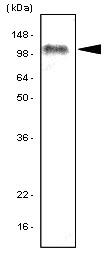 SM6026 - TLR7