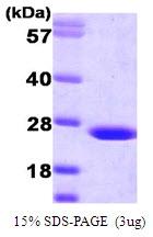 AR09120PU-L - Flavin reductase