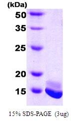 AR50020PU-N - Calmodulin