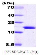 AR09014PU-L - Cyclophilin B
