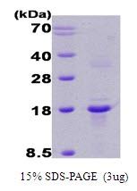 AR09020PU-L - Calcipressin-1