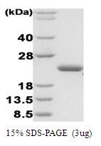 SA6032 - Disulfide Oxidoreductase