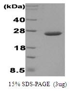 AR09034PU-L - Disulfide-bond isomerase