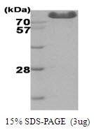 AR09037PU-L - Hexokinase-3