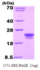 AR50016PU-N - Interleukin-1 beta / IL-1B