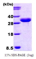 AR03004PU-N - ISG15 / G1P2