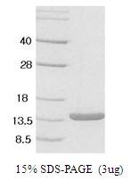 AR50010PU-N - Leptin