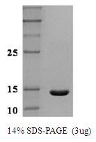 AR50000PU-N - Leptin