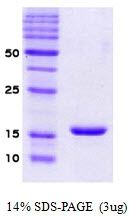 SA6001XFD - Alpha-Synuclein / SNCA