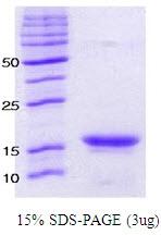 SA6002 - Alpha-Synuclein / SNCA