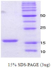 SA6000 - Alpha-Synuclein / SNCA