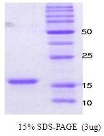 SA6003 - Alpha-Synuclein / SNCA