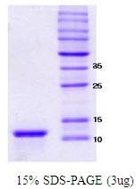 SA6005 - Alpha-Synuclein / SNCA