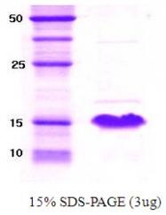 SA6006 - Alpha-Synuclein / SNCA