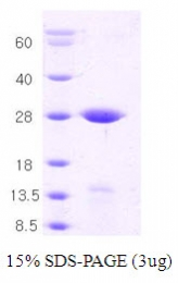 AR09086PU-L - Syntaxin 1A / STX1A