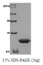 AR09089PU-L - Thioredoxin / TRX1