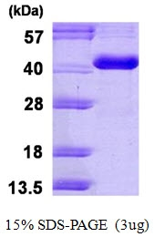 AR50213PU-N - Carbonic anhydrase 8