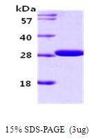 AR09101PU-L - 14-3-3 protein gamma