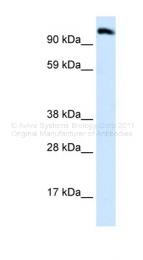 ARP30074_P050 - Early endosome antigen 1