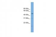 ARP30523_P050 - Arrestin beta-1 / ARRB1