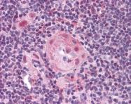 ARP30551_P050 - CD282 / TLR2