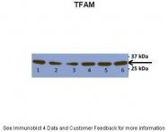 ARP31400_P050 - TFAM / TCF6