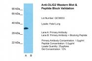 ARP32753_P050 - OLIG2