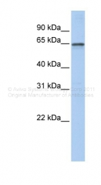 ARP33131_P050 - AdoHcyase 2 / AHCYL1