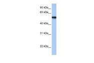 ARP33433_P050 - AP2-gamma / TFAP2C