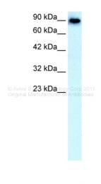 ARP33801_P050 - CD233 / SLC4A1