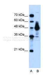 ARP34377_P050 - Alpha-enolase / ENO1