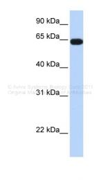 ARP34615_P050 - KLHL36
