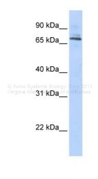 ARP34655_P050 - TRIM6 / RNF89
