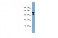 ARP35205_P050 - TRPA1