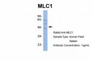 ARP35249_P050 - MLC1